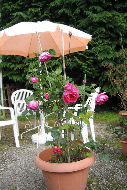 Plantes grimpantes florif res sur palissade orient e l - Deplacer un rosier ...