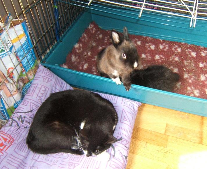 Chipie et les lapins
