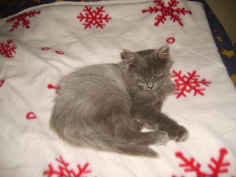 toulouse chaton gris de 3 mois. Black Bedroom Furniture Sets. Home Design Ideas