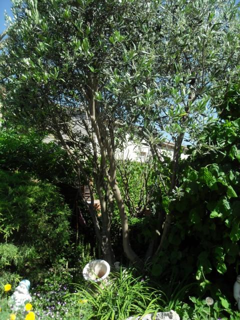 Olea Europeae Toscane Pot 130l Litres Autres Marques - Floraison ...