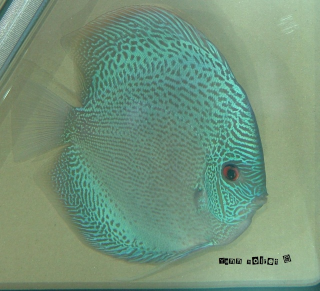 Discus fish johor bahru malaysia fish for sale adoption for Live discus fish for sale
