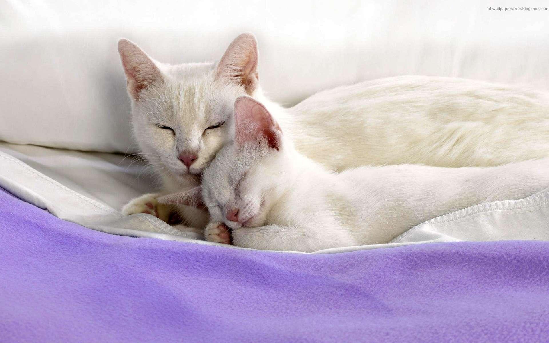 fond d'ecran gratuit chat blanc