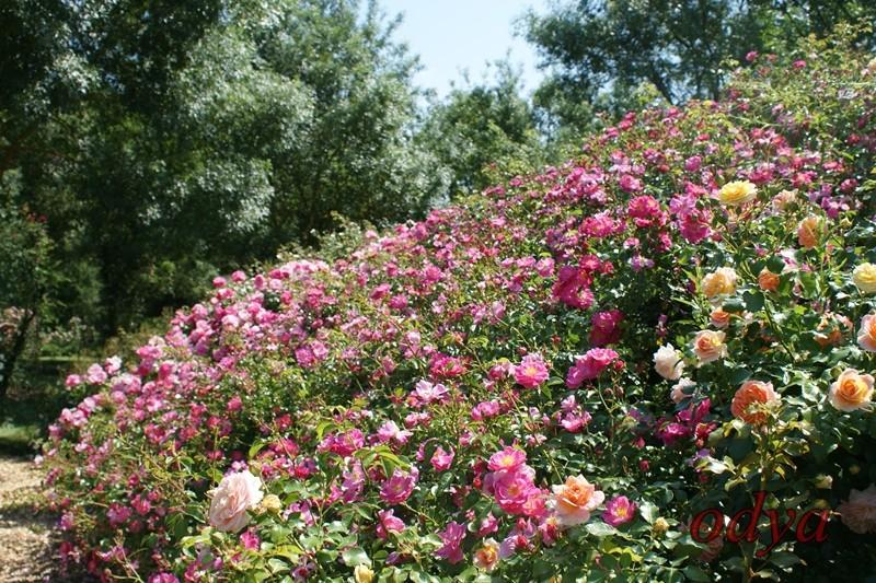 Forum jardin au naturel les chemins de la rose 49 doue la fontaine - Jardin de la rose doue la fontaine ...