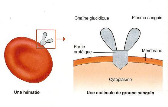 Agglutinogène d'une hématie