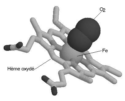 Molécule centrale d'hémoglobine oxygénée