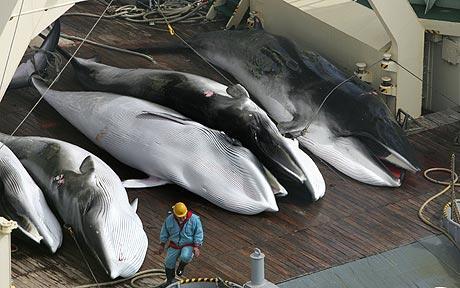 La chasse à la baleine a rouvert en Norvège