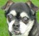 CHIFFON (mâle croisé-Chihuahua d'environ 12 ANS) - cardiaque et pleurésie