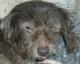 TITUS (mâle Griffon d'environ 14 ANS) - problèmes de peau