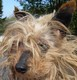 JADIS (femelle Yorkshire d'environ 12 ANS ) - état lamentable