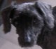 NORMAN (mâle caniche nain d'environ 10 ANS - malvoyant) - ADOPTE