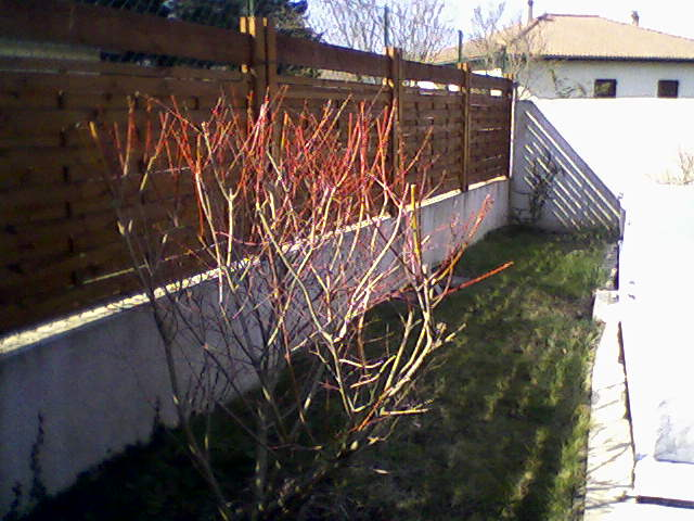 Saule crevette pas rose au jardin forum de jardinage - Tailler un saule crevette ...