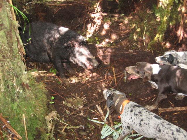 Hunting Hog Big Island Hawaii