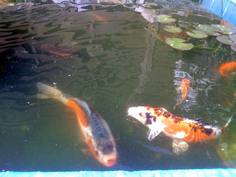 Carpe koi for Prix de carpe koi