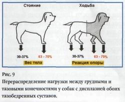 если не лечить дисплазию у щенка какие последствия