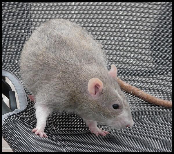 rat_8010.jpg