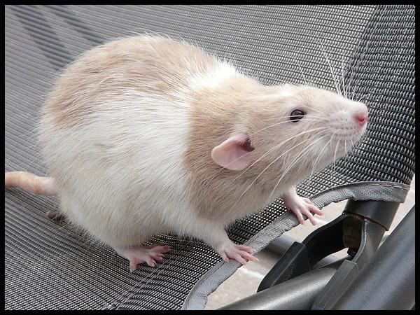 rat_8013.jpg