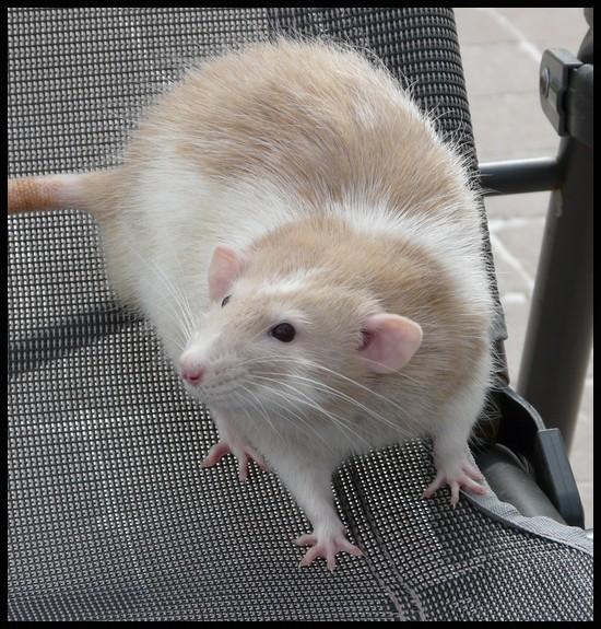 rat_8014.jpg