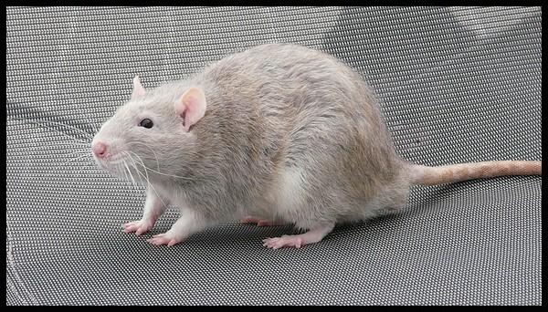 rat_8110.jpg