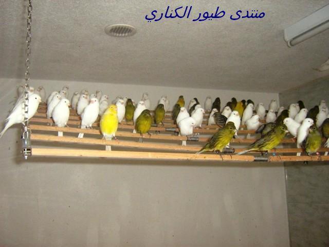 canarybirds