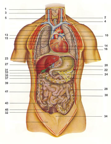 anatomia e njeriut