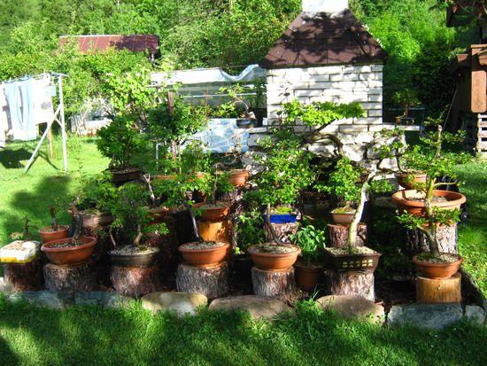 Dove coltiviamo i nostri bonsai for Dove comprare bonsai