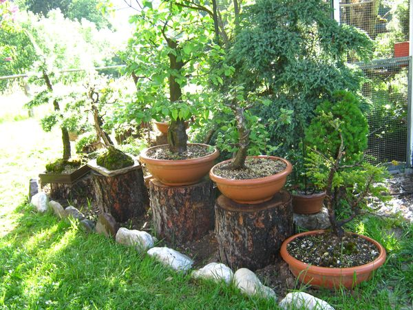 Dove coltiviamo i nostri bonsai pagina 2 for Dove comprare bonsai