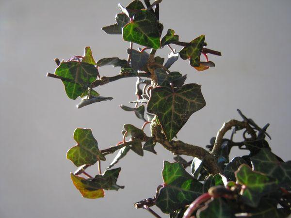 Edera bonsai for Talea edera